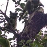 raccoon in tree, raccoon removal