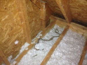 Snake skin found in attic of Johns Creek home with flying squirrels