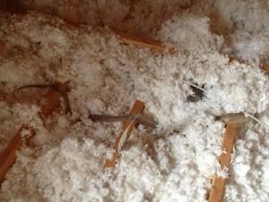 Snake skin in attic