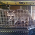 raccoon removal and raccoon trapping in cage