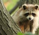 raccoon near a tree, raccoon removal