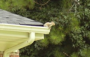 squirrel on roof, squirrel removal