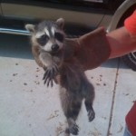 raccoon caught by hand, raccoon removal