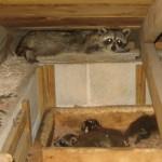 raccoons in attic, raccoon removal