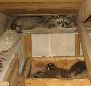 Raccoon Trapping Getting Rid Of Raccoons
