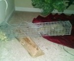 trapped squirrel in cage, squirrel removal
