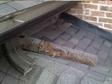 squirrel trapped in cage for squirrel removal