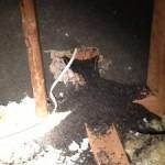 bat guano, bat removal and bat trapping