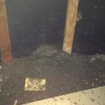 bat quano, bat removal and bat trapping