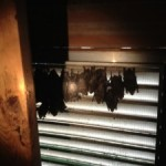 bats roosting in attic, bat removal