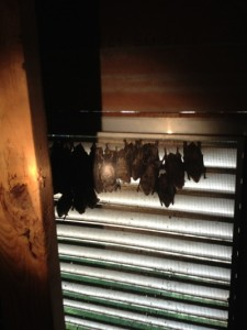Get Rid Of Bats Rid Of Bats Bat Removal