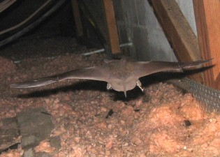 bat removal in Monroe GA