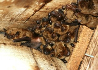 bat removal services in Macon GA