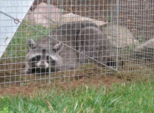 raccoon trapping in Woodstock ga