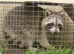 raccoon trapping in Lawrenceville ga