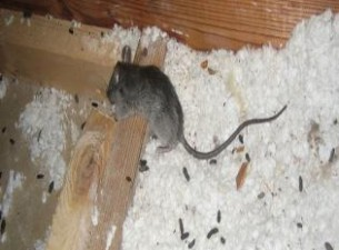 rats in attic Woodstock ga