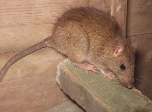 rat trapping in Alpharetta ga