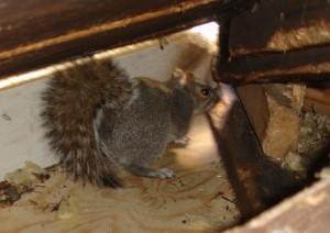 squirrel trapping and squirrel removal in Atlanta ga