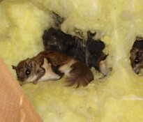 flying squirrels in attic