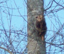 opossum trapped in tree in lawrenceville